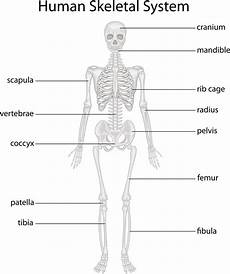 human skeletal system diagram labeled functions of the skeletal system you d certainly want to bodytomy