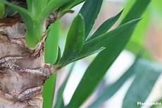 palme umtopfen wurzeln abschneiden yucca palme schneiden bl 228 tter abschneiden ableger zur