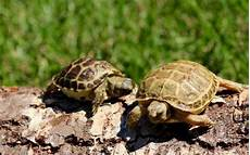 russian tortoise care sheet russian tortoise information and care tips info