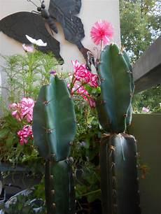 cereus einfach abschneiden pflanzen botanik kakteen