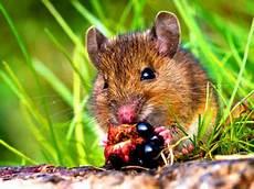 Was Essen Mäuse In Der Natur - was fressen m 228 use gerne richtig f 252 ttern hagebau de