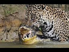 most jaguar attacks predator real lion attack