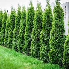 thuja hecke pflanzen thuja green emerald green arborvitae thuja green