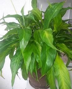 Einblatt Lässt Blätter Hängen - welche zimmerpflanze k 246 nnt ihr empfehlen pflanzen