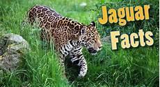 jaguar information for jaguar facts for adults information pictures