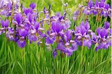 iris fiore coltivazione iris caratteristiche e coltivazione cure naturali it