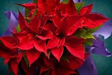 Weihnachtsstern Gartenweb