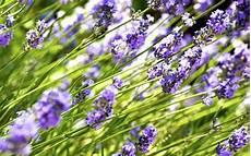 Lavendel Schneiden Anleitung F 252 R Den R 252 Ckschnitt