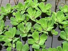 plante d eau pistia stratiotes water lettuce floating plant