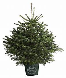 der trend ein weihnachtsbaum im topf dehner dehner