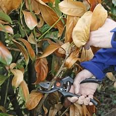 Kirschlorbeer Schneiden Mein Sch 246 Ner Garten
