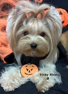 28 best images about yorkie cuts pinterest