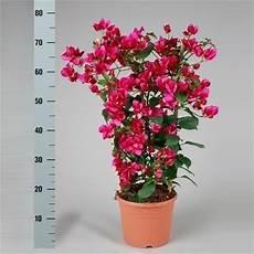 kübelpflanzen winterhart blühend bougainvillea sanderiana op rek rood wt016 floraxchange