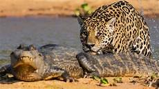 jaguar ou leopard un jaguar attaque un ca 239 zapping sauvage