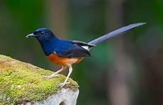 18 Jenis Burung Murai Batu Terbaik Di Seluruh Dunia