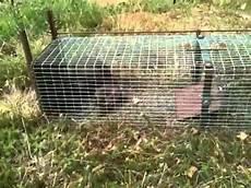 comment attraper une fouine la fouine dans la cage