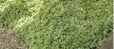 couvre sol sans entretien plante rante talus fleur de