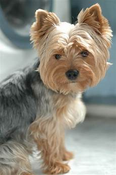 43 best images about yorkies haircuts pinterest
