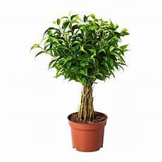 ficus benjamina natasja plante en pot ikea