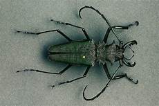 scarafaggio volante cervo volante