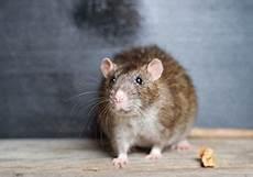 comment se débarrasser des rats guides pour se d 233 barasser des nuisibles anti cafards