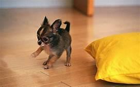 Black Chihuahua Puppy High Definition Full Screen