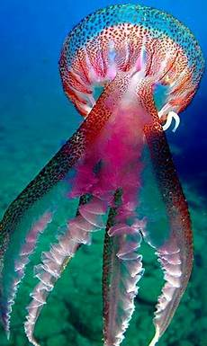 Quallen Malvorlagen Resort Jelly Fish Underwater Animals Jellyfish Animals