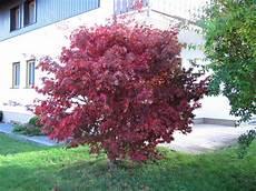 pflanzen günstig roter f 195 164 cherahorn bloodgood acer palmatum bloodgood