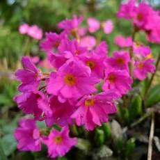 pflanzen shop günstig naturagart shop primel kaufen