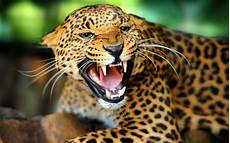 of jaguar the meaning and symbolism of the word jaguar