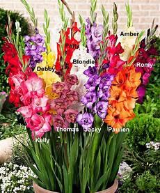 mini gladioli glamini 174 glads gardens