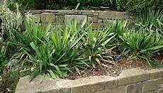 yucca palme pflegen yucca palmen pflegen so erhalten sie grosse gesunde pflanzen