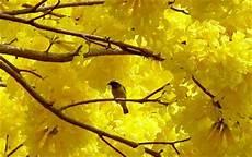 semeruco para colorear elambiente ron arboles emblematicos en venezuela conoces el de t 250 estado