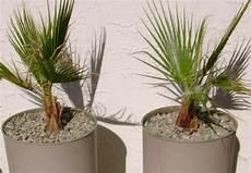 palmier exterieur en pot palmier en pot comment le choisir et le cultiver