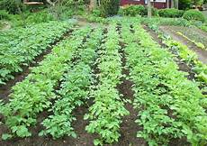 kartoffelanbau im garten kartoffelanbau welcher ertrag im garten