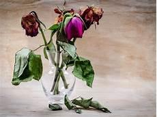 Gambar Bunga Mawar Layu Di Tangan Koleksi Gambar Bunga