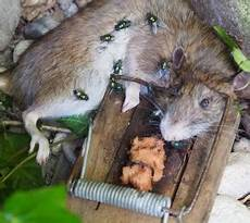 neuartige falle f 252 r ratten im test proplanta de