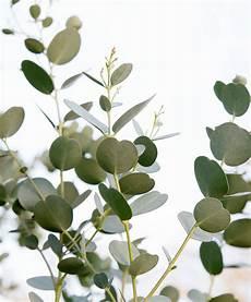 eukalyptus azura 174 in 2019 eukalyptus azura