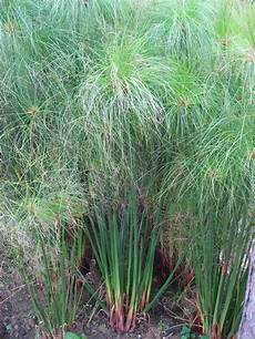 Cyperus Papyrus Images Useful Tropical Plants