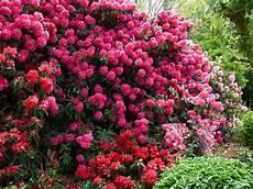 Cultiver Et Entretenir Le Rhododendron Arbre De Jardin