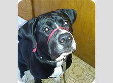 Sophi   Adopted Puppy   Cedar, MN   English Bulldog