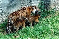 Anak Harimau Sumatera Di Tmsbk Bukittinggi Tumbuh Sehat