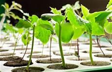 Tomatenpflanzen Selber Ziehen Aussaat Und Pflege