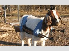 Armed (legged) and dangerous: Meet the goat with guns