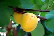 Eine Aprikose Aus Dem Kern Ziehen 187 So Gelingt S