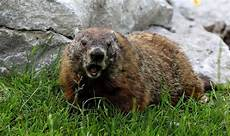 groundhog day 2019 when is groundhog day in the us this year what is a groundhog world