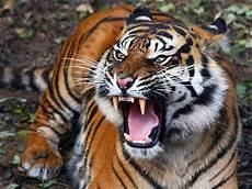 Gambar Harimau Dunia Binatang