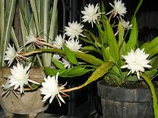 Koleksi Tanaman Hias Bunga Wijaya Kusuma Epiphyllum