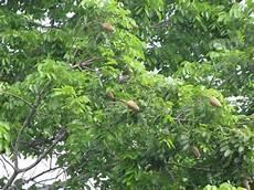 arbol emblematico de monagas 82 best nuestros arboles en venezuela images on pinterest searching fruit and food items