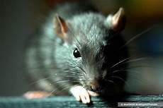 was fressen ratten am liebsten diese 7 rattenk 246 der locken